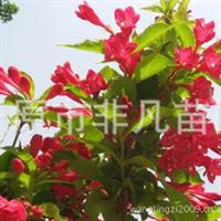 供应,红王子锦带,四季锦带,锦带花,花灌木,绿化树