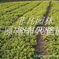 供应金焰绣线菊绿化苗木灌木模纹