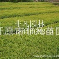 供应金山绣线菊金山扦插苗绿化苗木绿篱模纹灌木
