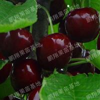 果树苗木果苗南方甜樱桃树苗南方紫珍珠樱桃苗蜜糖樱桃种苗