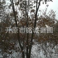 供应蒙古栎、夏像、丛生蒙古栎、柞树、橡树