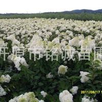 供应灌木木绣球、绿化苗木、大花水桠木、木球荚迷、绣球花