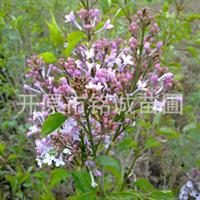 供应紫丁香、大叶丁香、丁香苗、绿化苗木、丁香籽、丁香花