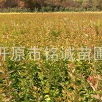 供应绿化苗木金叶风箱果、紫叶风箱果、彩叶苗木、风箱果小苗