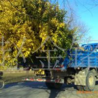 供应高干金叶榆、绿化花卉苗木、高杆金叶榆树、高接金叶榆