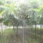 黄连木树苗楷木楷树绿化树苗湖北苗木基地低价供应各种苗木