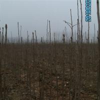 湖北银杏苗,高1米以上银杏小苗,湖北白果苗,银杏批发银杏苗