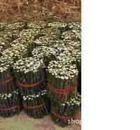杜仲种苗供应优质大量杜仲苗(40-60CM杜仲苗