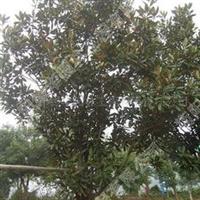 供应衡阳广玉兰胸径2-15公分的苗木
