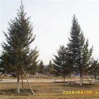 大连云杉,十米高,树形丰满,低价出售