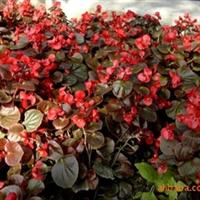 供应大连花卉|万寿菊|彩叶草|矮牵牛|孔雀草|海棠