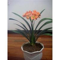 室内高档盆栽花卉-大花巨兰君子兰苗