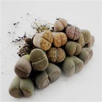 盆栽迷你多肉植物生石花植物石头花苗盆栽生石花苗