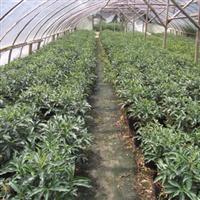 供应富贵籽盆景绿化小苗、黄金万两、挂果期可达10个月