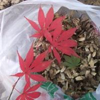 低价出售日本红枫种子、数量有限、自己采摘的质量优等、机会难得