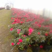 批发比利时杜鹃花苗、两年生、四季皆可开花、规格齐全、真诚合作