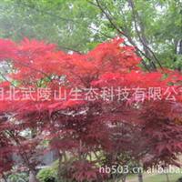 武陵山生态农业销售红枫、美国红枫、日本红枫嫁接