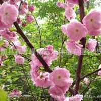 供应合欢树苗不同规格的绿化苗木