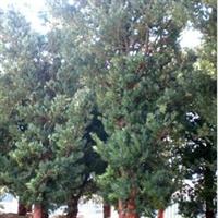 产地直销绿化苗木乔木15公分精品罗汉松等10棵起批