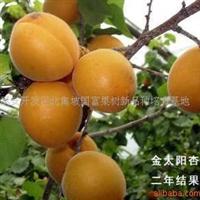 供应【多种品种】优质樱桃苗