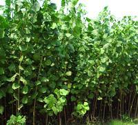 供应107品种杨树苗易成活/优质绿化苗木