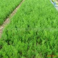 大量供应开春绿化树苗侧柏苗