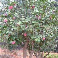 供应绿化乔木茶花