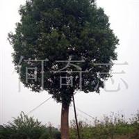供应绿化苗木香樟