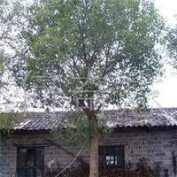 供应大树乔木移栽香樟
