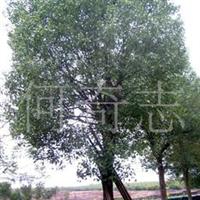 供应绿化乔木香樟