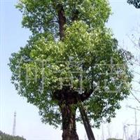 供应古树乔木香樟