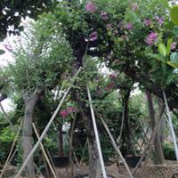 供应30公分移植紫荆树