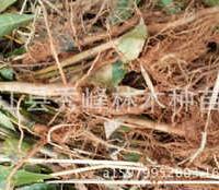 供应木荷当年苗、荷木、木艾树、何树