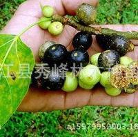 供应菩提树小苗或大规格,印度菩提树