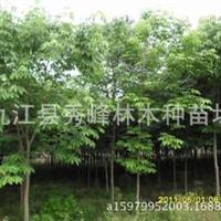 供应七叶树小苗或大规格桫椤树、梭椤子