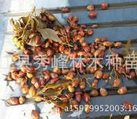 供应九里香小苗或大规格石辣椒、九秋香