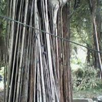 福建漳州乔木绿化苗木多根扩径榕树小叶榕