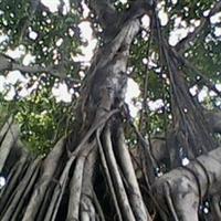 榕树小叶榕绿化苗木多根扩径乔木榕树
