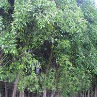 福建漳州米径6-25cm行道树小叶榕绿化工程苗木