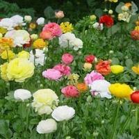 花毛莨种子彩色袋装花卉种子花毛茛花种子20粒装