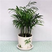 迷你盆栽小盆景袖珍椰子绿色室内盆栽植物除甲醇净化空气