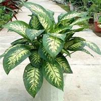 花叶万年青盆栽彩叶植物吸收甲醇有害气体