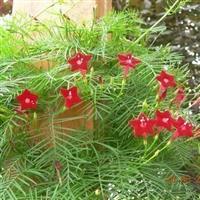 茑萝芳香花卉盆花阳台观花羽叶茑萝种子袋装约10粒