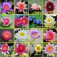 迷你睡莲根块种根水生水培植物花卉盆栽碗莲包成活10个包邮