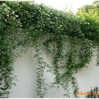 好看又香的蔷薇木香花七里香