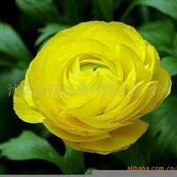 【花草种子】原装正品花卉种子花毛茛种子100粒