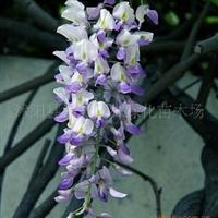 多花紫藤攀缘速度快,成活率高