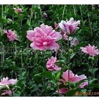 粉红重瓣花木槿花花期长