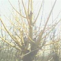批发供应黄金槐,龙爪槐、国槐、刺槐等苗木,绿化苗木、果树种苗