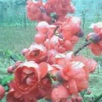 供应大量批发大棉球山楂树种苗,果树、绿化苗木海棠花